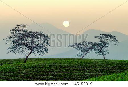 dawn, tea hills, mountainous Thai Nguyen, Vietnam