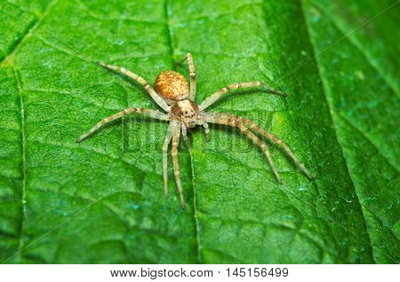 Little spider hunting on a green leaf