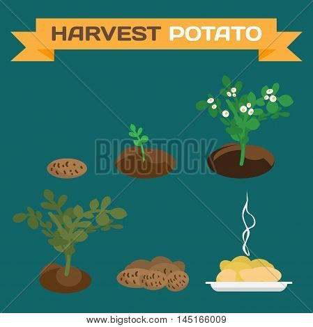 Potatoes harvest. Process of growth of potato tubers to the finished dish flat cartoon vector illustration