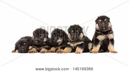Group of German Shepherd puppies together isolated on white background