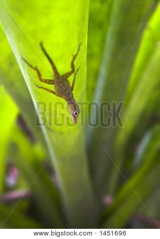 Gecko On The Grass Blade