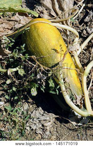 Ripen green-yellow big pumpkin on the ground