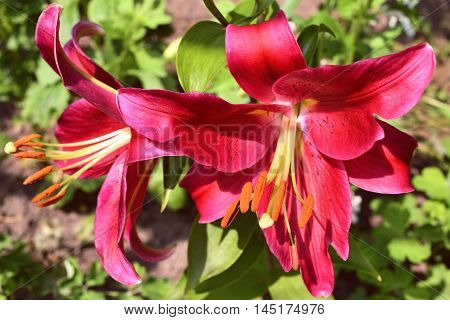 two bright lilies with crimson petals grow in the garden