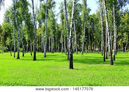 beautiful birchwood in the summer in August