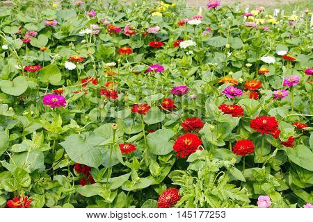 multicolored flowers of zinnia in the garden