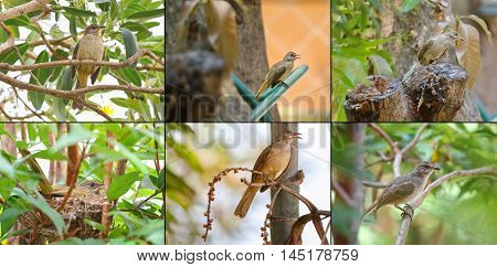 Collage set of streak - eared bulbul bird on tree nest and branch in the garden during the summer in Thailand, Asia. They have brownish feathers, whitish streaked ears with pale gray eyes.
