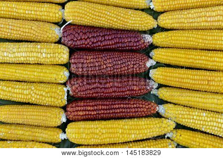 stock of corn.The maize sequence arson. Row of colored corn.
