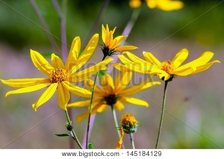 several yellow daisy with a dark yellow center, growing in the garden outdoors in autumn, closeup