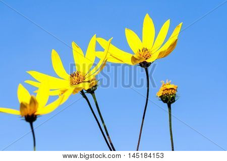 several yellow daisy with a dark yellow center, growing in the garden outdoors in autumn, closeup,  against a background of blue sky, the five