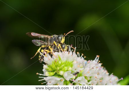 Couple of common wasp (Vespula vulgaris) mating on a white flower