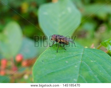 Fly on leaf, insects -  threat to human health and Pets. Insect carrier of infection and disease.