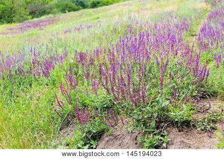 Meadow of a purple wild salvia flowers