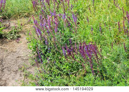 Meadow of the purple wild salvia flowers