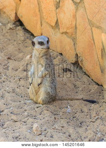 Meerkat Standing Afternoon On Sand Under The Sun