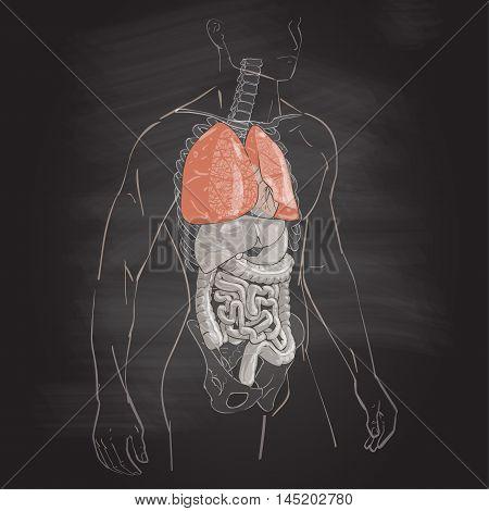 vector illustration human body anatomy medical lung internal organs system chalk drawing on the blackboard