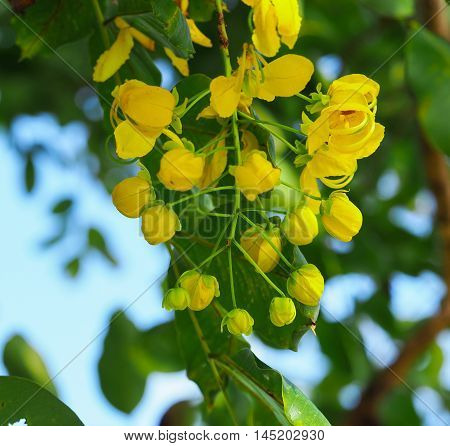 The Ratchaphruek Flower or Cassia Fistula Flower is blooming in the garden.