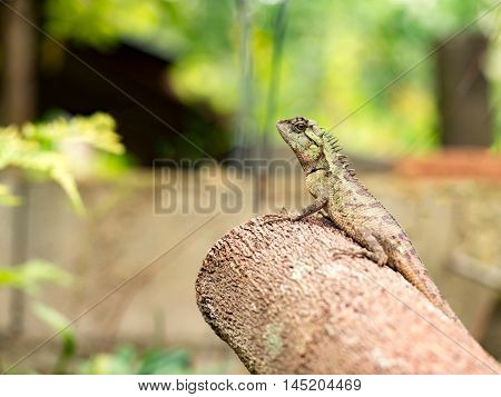 Lizard galliwasp or chameleon on timber tree which is camouflage to survive in nature (Selective focus)