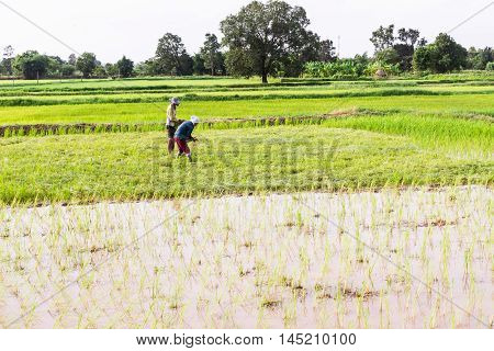 Young rice filed at Mahasarakham province Northeast of Thailand