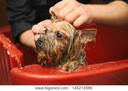 Canine hairdresser washing cute dog at salon, close up