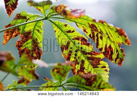 Moth damaged horse-chestnut tree (Aesculus hippocastanum) leaves. Horse-chestnut leaf miner moth (Cameraria ohridella) in the family Gracillariidae damage caused by larvae feeding within leaves