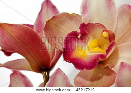 Close Up Of Orchid Flower In Hues Of Pink And Yellow