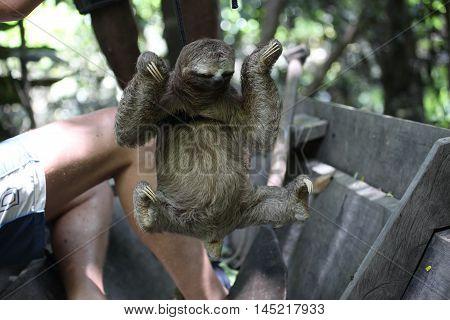Bradypus a very slow animal in amazon jungle