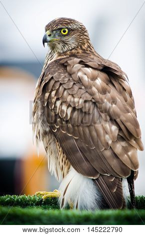 Bird of prey. Short-toed Eagle in Badajoz