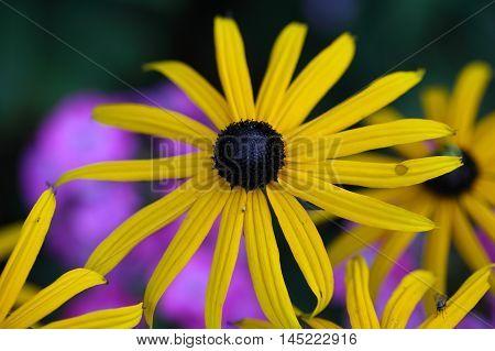 Flower of a perennial coneflower (Rudbeckia fulgida)