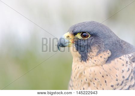 Birds of prey. Close-up of an Peregrine Falcon