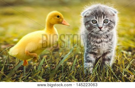 Small duckling outdoor playing with a cat on green grass