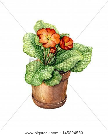 Hand drawn pot plant. Watercolor red blooming primula in clay flowerpot isolated on white.