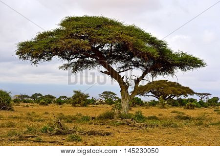 African Tree In The Savannah