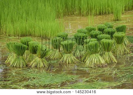 Rice Plant Seedling to put to the rice paddy for growing rice