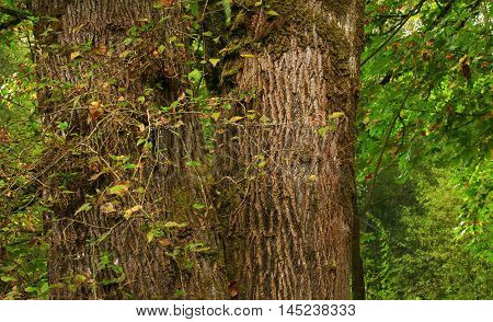 a picture of an exterior Pacific Northwest forest with old growth  cottonwood trees in summer
