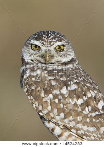 Burrowing Owl, Athene Cunicularia