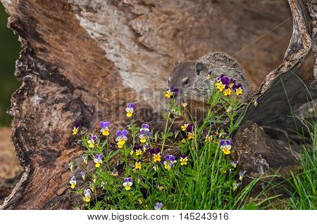 Young Woodchuck (Marmota monax) Behind Flowers - captive animal