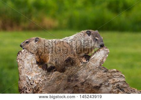 Young Woodchucks (Marmota monax) Atop Log - captive animals