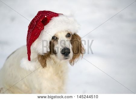 Funny Christmas dog - Irish Red and White Setter with a Santa Claus hat