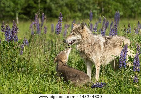 Grey Wolf (Canis lupus) Pup Begs From Yearling - captive animals
