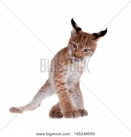 Eurasian bobcat cub, lynx lynx, isolated on white background