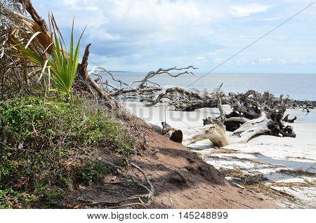 Driftwood Beach washed ashore at Jekyll Island, Georgia
