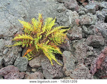 Ama'u fern Sadleria cyatheoides in lava in Hawaii