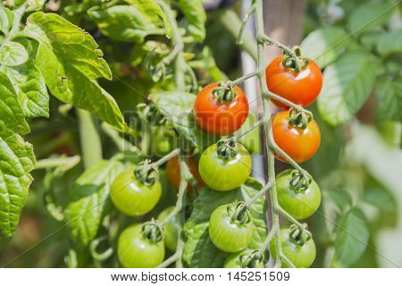 Fresh cherry tomatoes in the garden, greenhouse