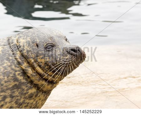 Common seal resting on a rock close to water