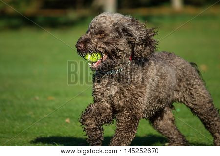 Male  Cockapoo dog (Cocker Spaniel and Poodle mixed breed), running with ball, local park, Liverpool, England