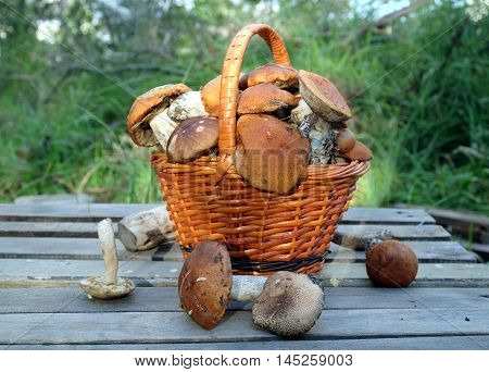 Still life with many edible mushrooms  in brown wicker basket on wooden table closeup wooden table. Top view outdoors against green plants in the evening