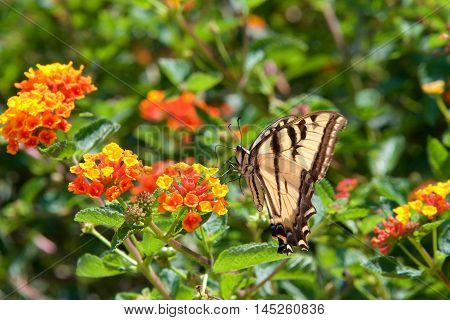 The Black Swallowtail also known as the American Swallowtail or Parsnip Swallowtail so big it can not stop fluttering it's wings to drink nectar from these yellow and orange cluster Lantana flowers. Side view