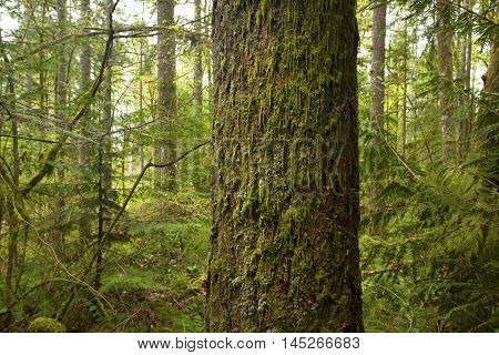 a picture of an exterior Pacific Northwest forest of a old growth mossy Douglas fir tree