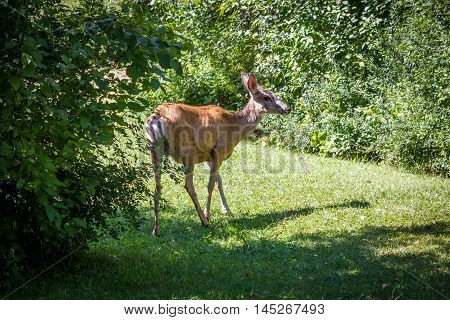 Mule Deer standing in the bushes under sunlight