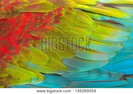 Colorful texture of Scarlet Macaw feathers can use background.